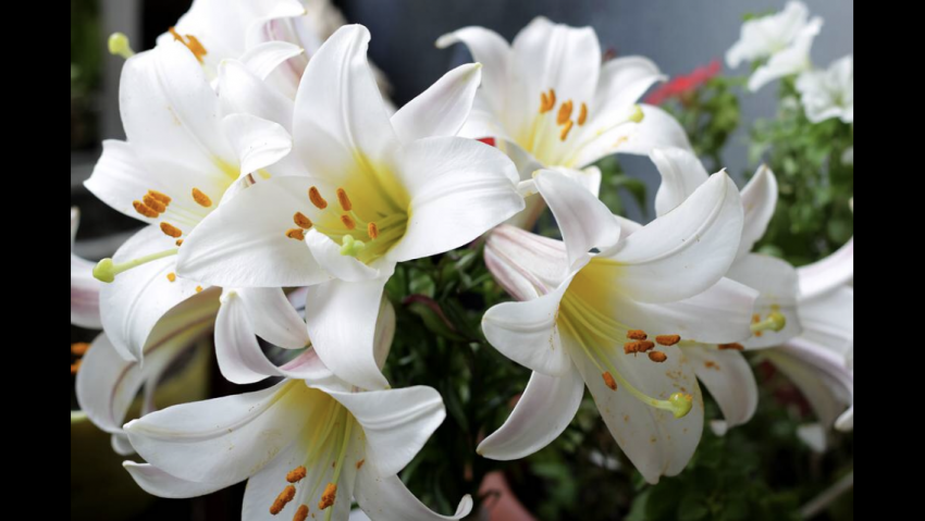 Emotional Poetry: White Lilies